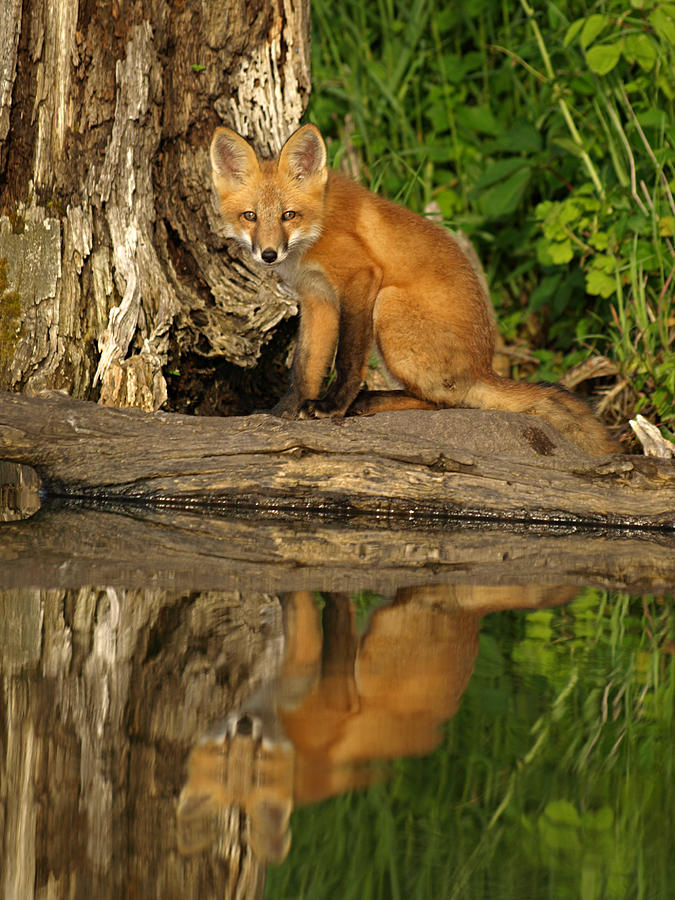 Fox Reflection Photograph by James Peterson