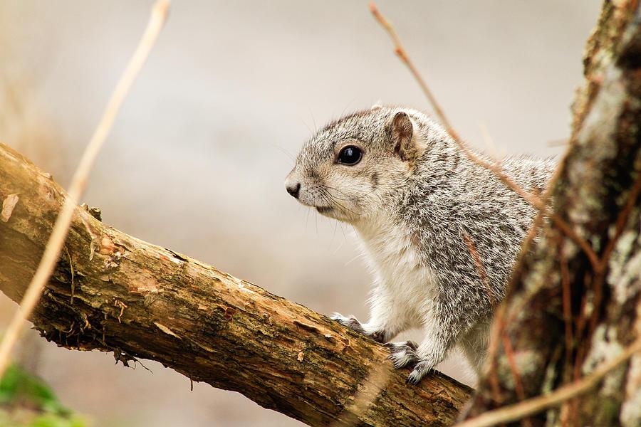 2015 Photograph - Fox Squirrel Closeup  by Nathaniel Kidd