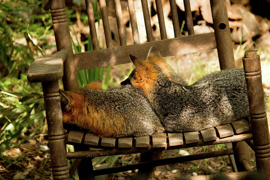 Fox Photograph - Foxes In A Chair by Ryan Stoddard