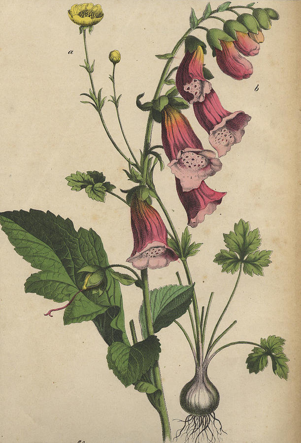 foxglove and buttercup drawing by german botanical artist