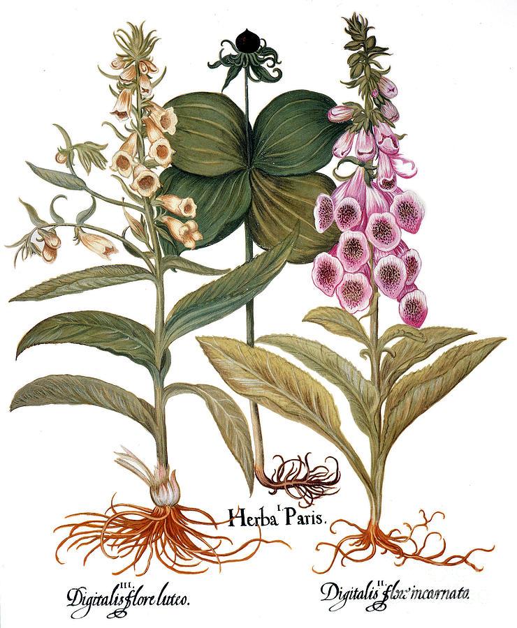 Basilius Photograph - Foxglove And Herb Paris by Granger