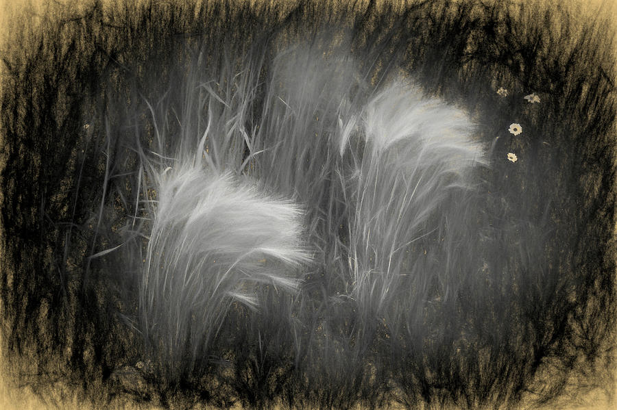 Foxtail Barley Digital Art