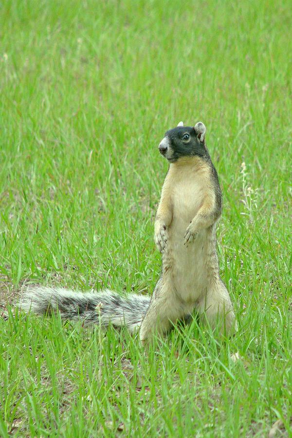 Fox Squirrel Photograph - Foxy by Adele Moscaritolo