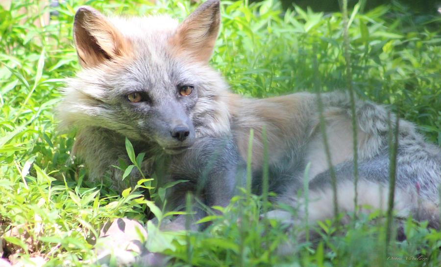 Foxy Photograph