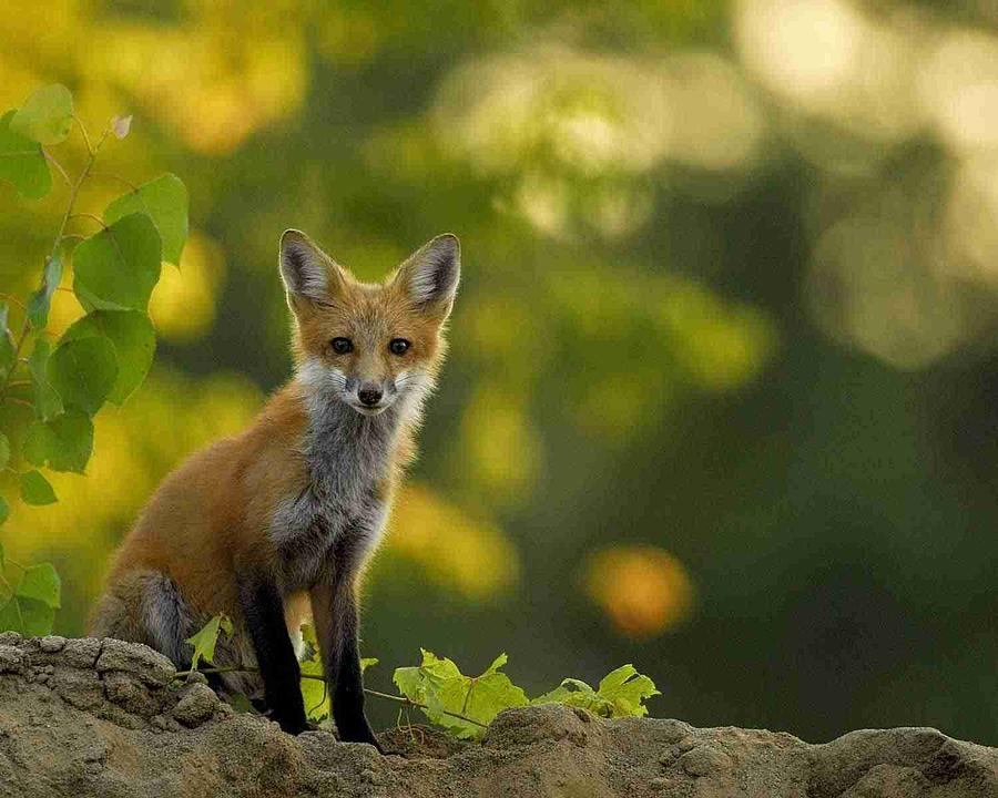 Fox Photograph - Foxy Lady by James Wallace