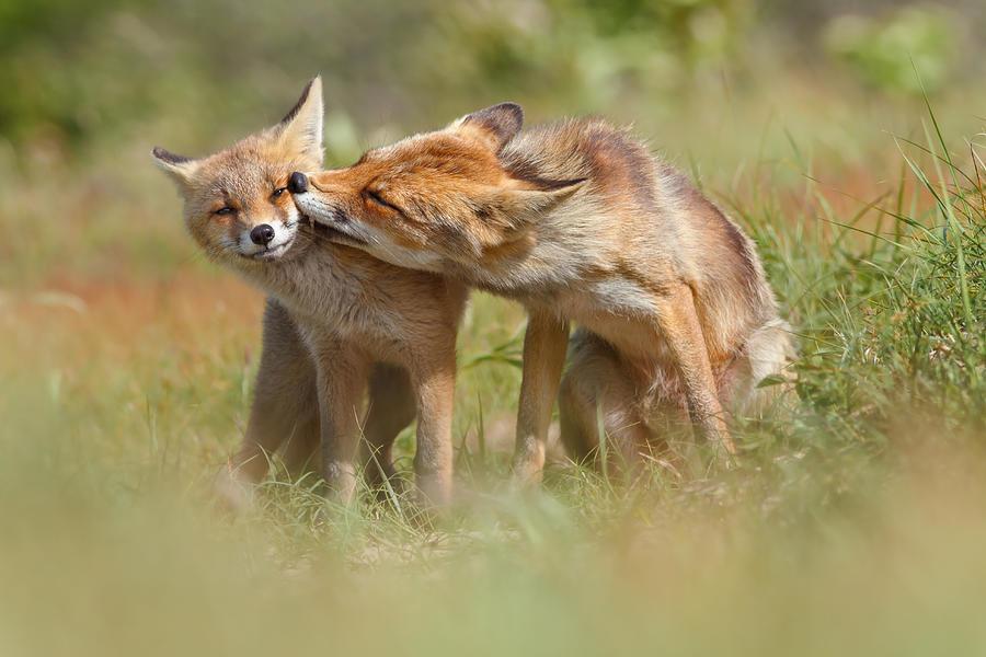 Fox Photograph - Foxy Love Series - But Mo-om II by Roeselien Raimond