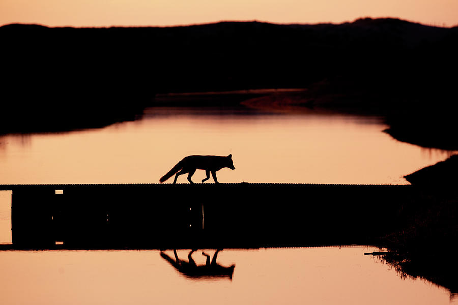 Red Fox Photograph - Foxy Nights - Red Fox Silhouette by Roeselien Raimond