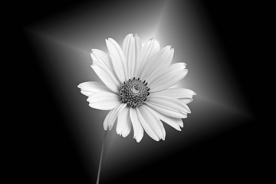 Daisy Photograph - Fragile Beauty by Maria Dryfhout