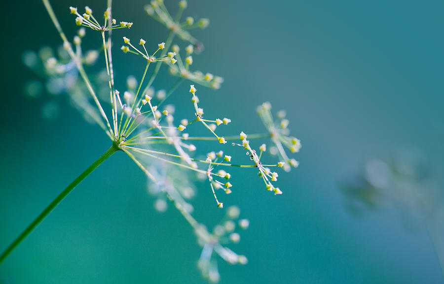 Fragile Dill Umbels Photograph