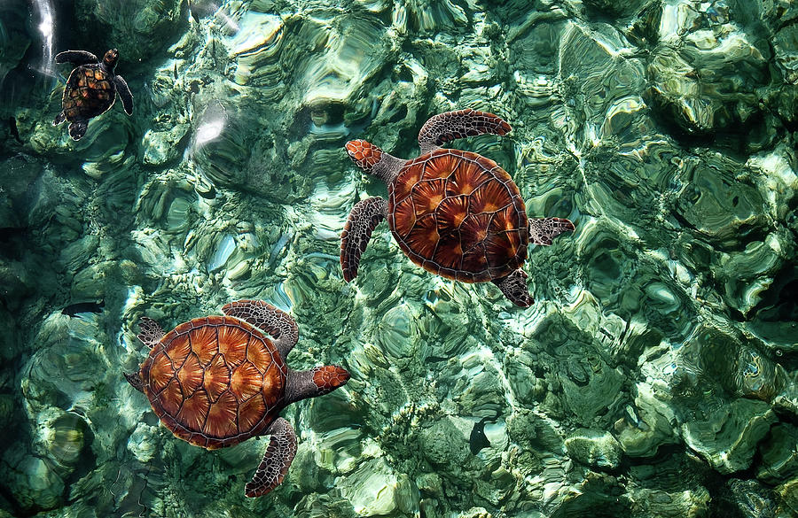 Maldives Photograph - Fragile Underwater World. Sea Turtles In A Crystal Water. Maldives by Jenny Rainbow