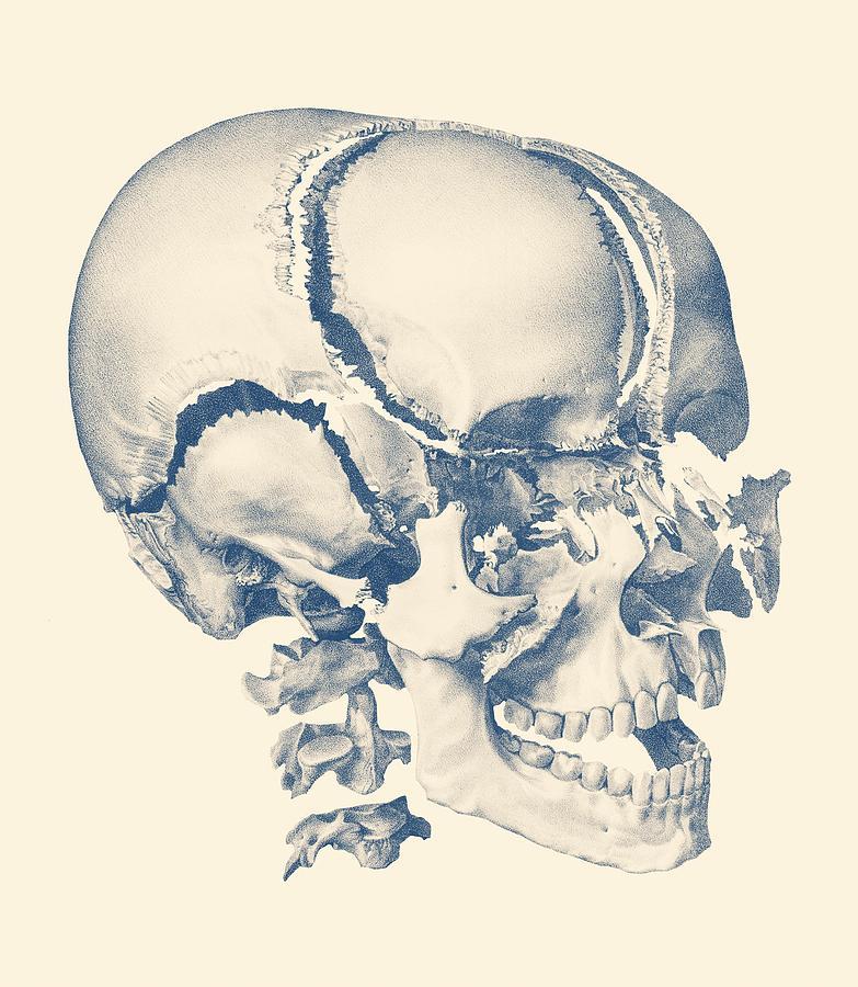 Fragmented Human Skull Vintage Anatomy Print Drawing By Vintage