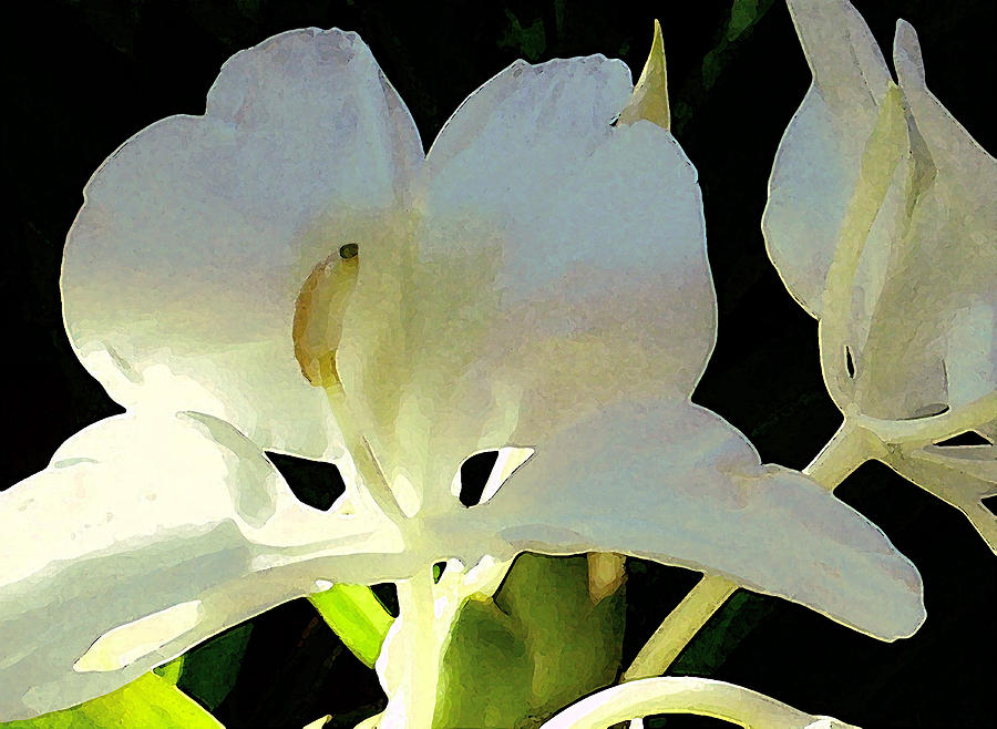 Ginger Photograph - Fragrant White Ginger by James Temple