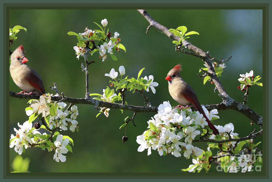 Animals Photograph - Framed Cardinals In Spring by Sandra Huston