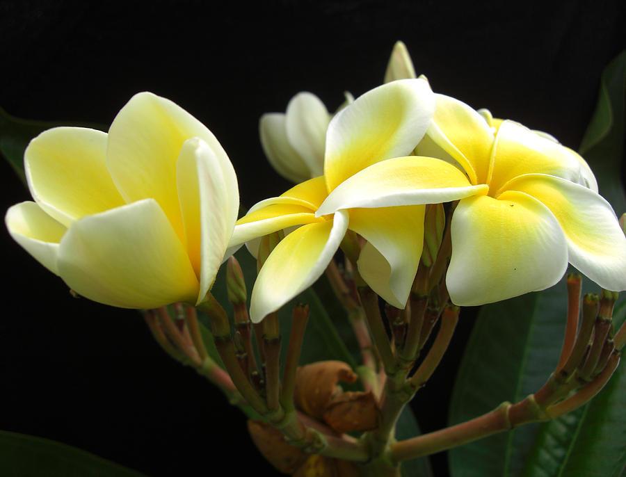 Floral Photograph - Frangipani Blossoms by Frederic Kohli