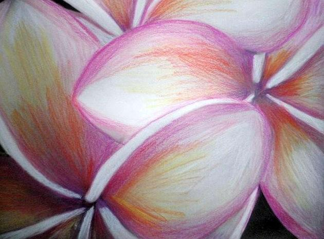 Frangipani Drawing by Miss McLean