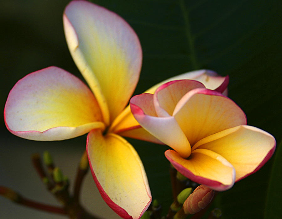 Nature Photograph - Frangipani Flowers by PIXELS  XPOSED Ralph A Ledergerber Photography