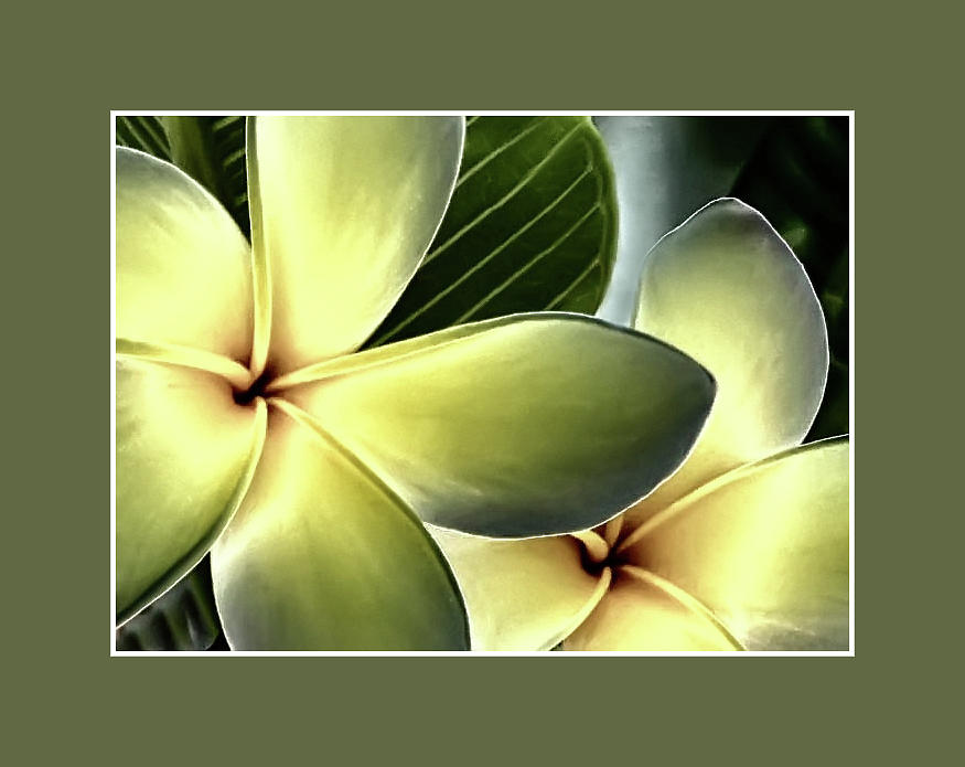 Frangipani - Plumeria by Geraldine Alexander