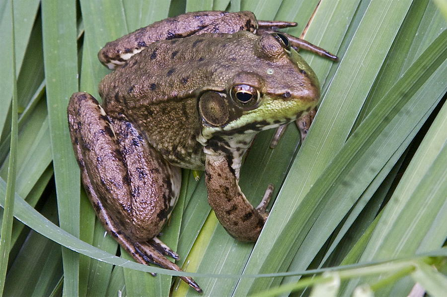 Frog Photograph - Fred by Robert Joseph
