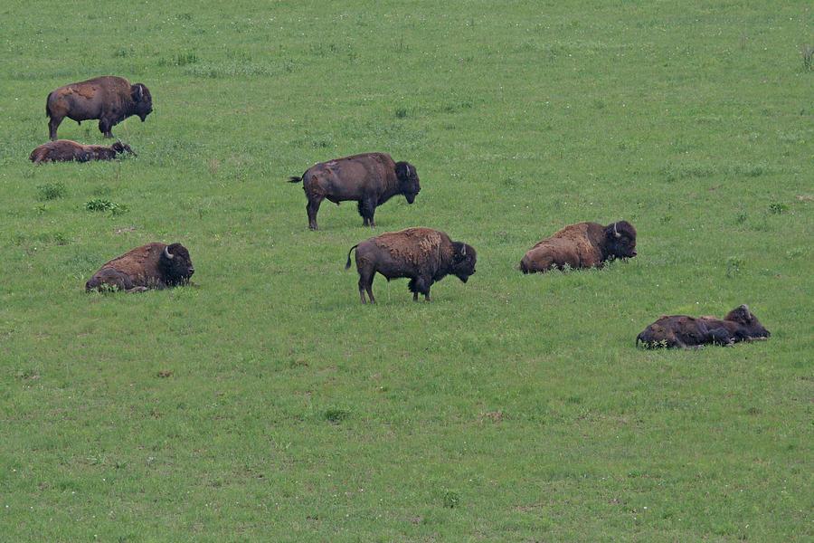 Color Photograph - Free Range Buffalo by Tina B Hamilton