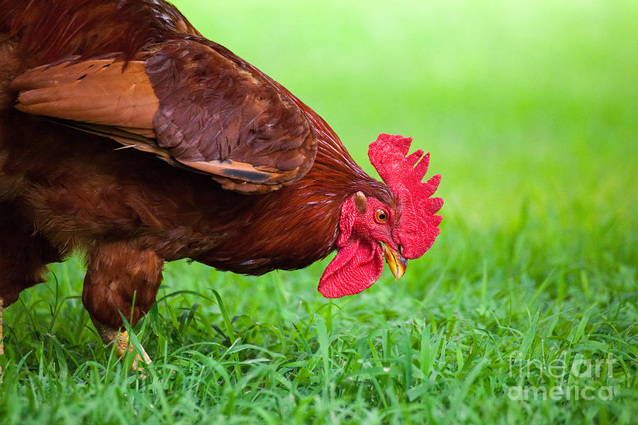 Free Range Chicken Eating Grass Photograph By Leslie Banks