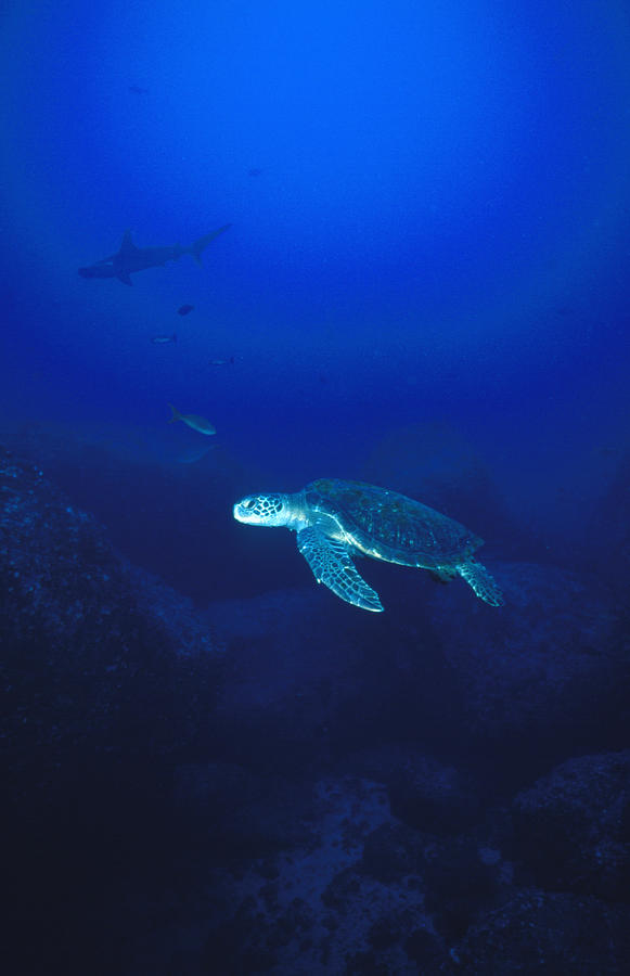 Costa Rica Photograph - Free Swimming Green Sea Turtle by James Forte