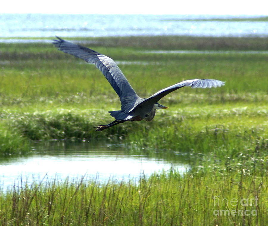 Blue Heron Photograph - Freedom Flight by Debbie May