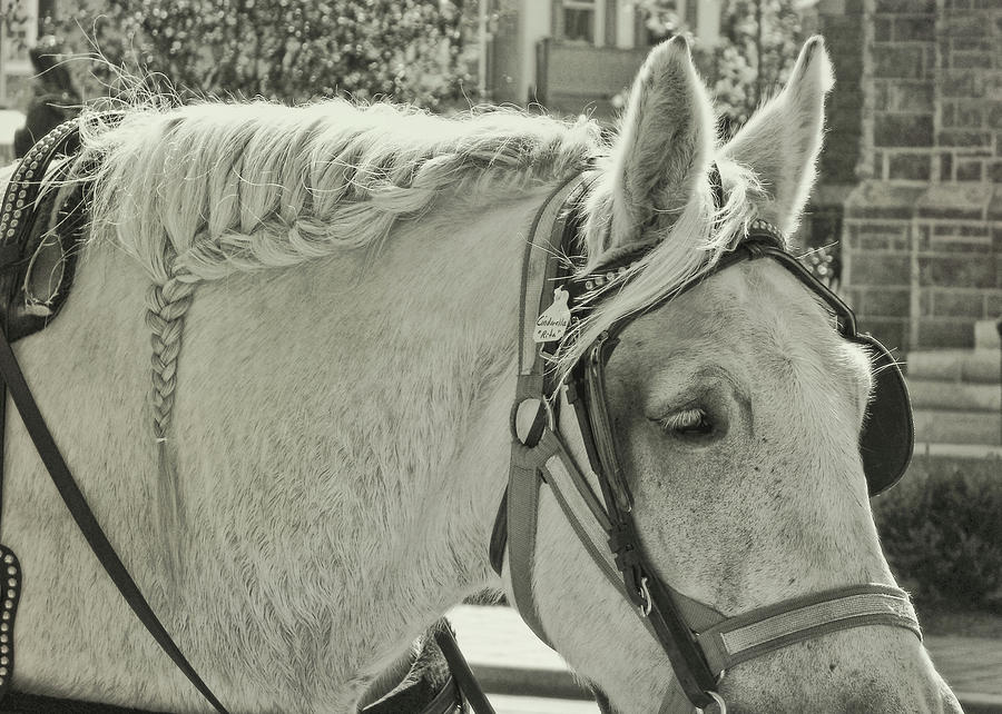 Horse Photograph - French Braided Gray by JAMART Photography