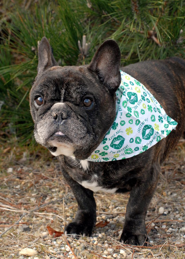 French Bulldog Photograph - French Bulldog 96 by Joyce StJames