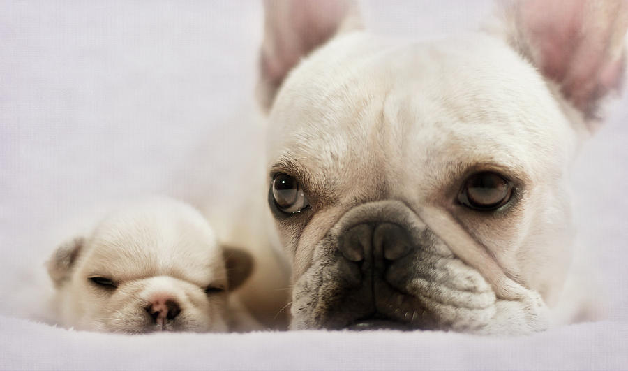French Bulldog Photograph by Copyright © Kerrie Tatarka