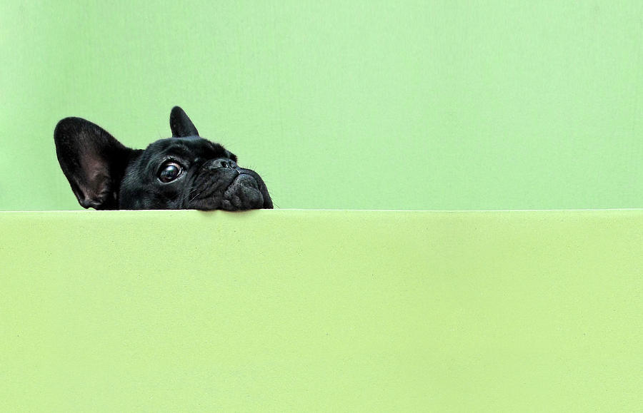 Horizontal Photograph - French Bulldog Puppy by Retales Botijero