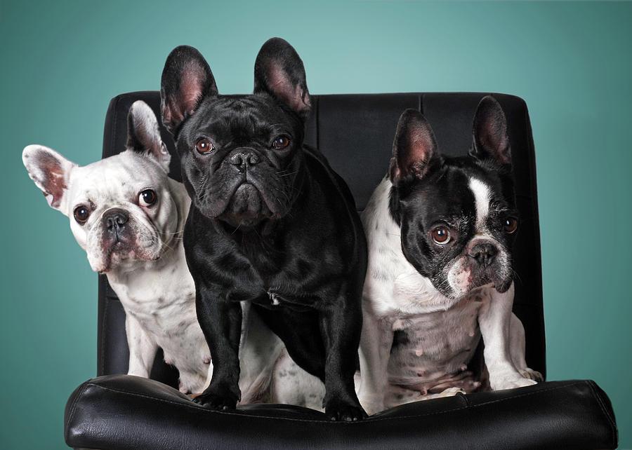 Horizontal Photograph - French Bulldogs by Retales Botijero