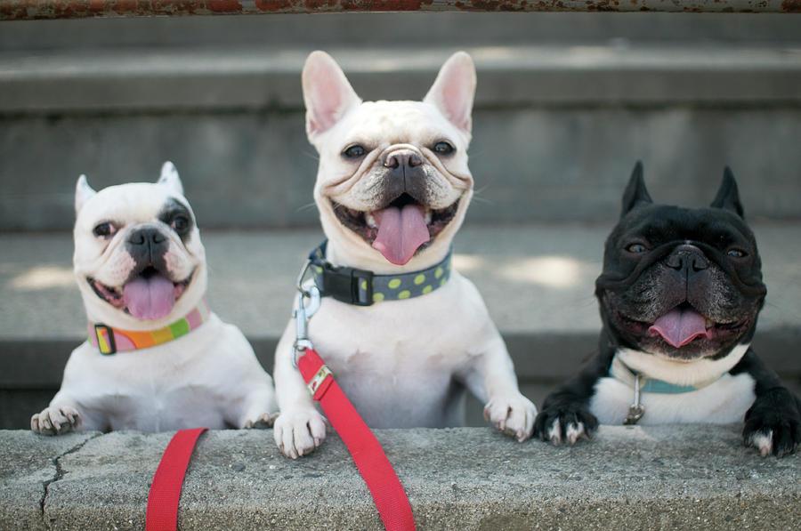 Horizontal Photograph - French Bulldogs by Tokoro