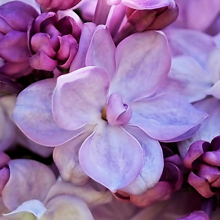 French Lilac Flower Photograph