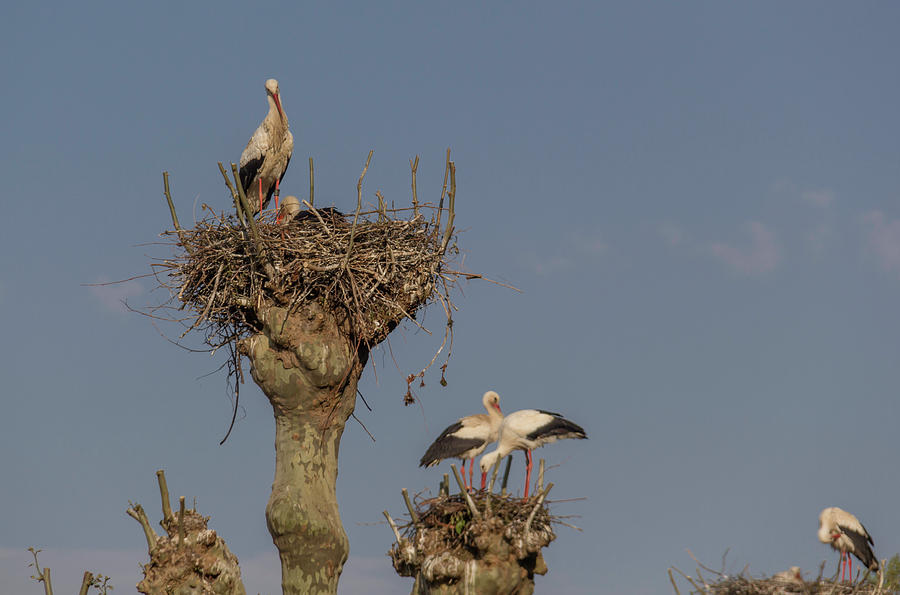 Alsace Photograph - French Storks 01 by Teresa Mucha