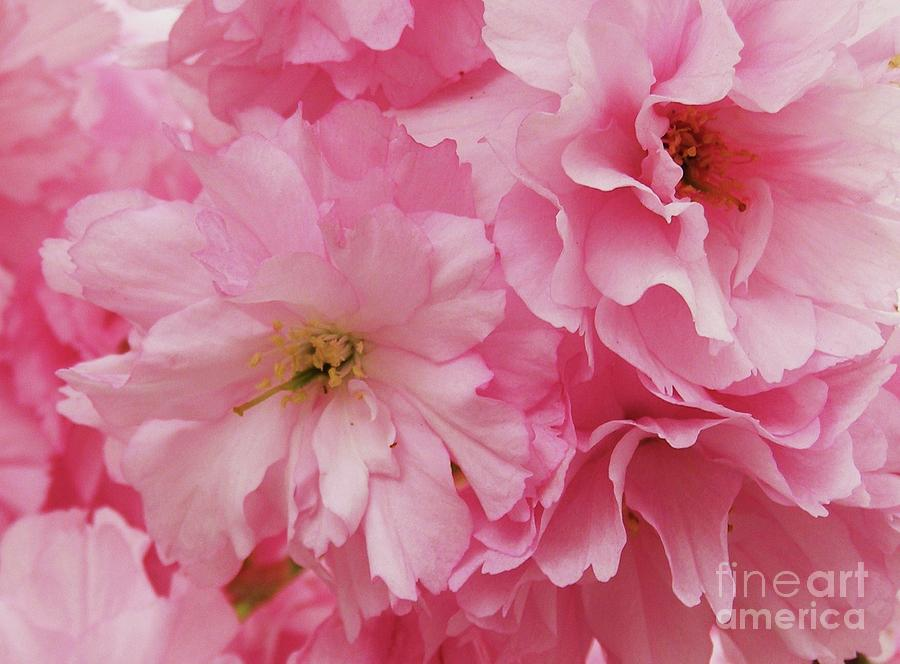 Cherry Blossoms Photograph - Fresh Blooms by Anne McDonald