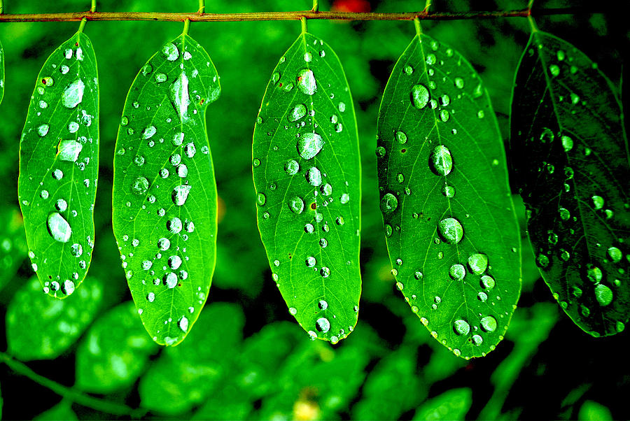Leaves Photograph - Fresh Dew by Sarah Jean Sylvester