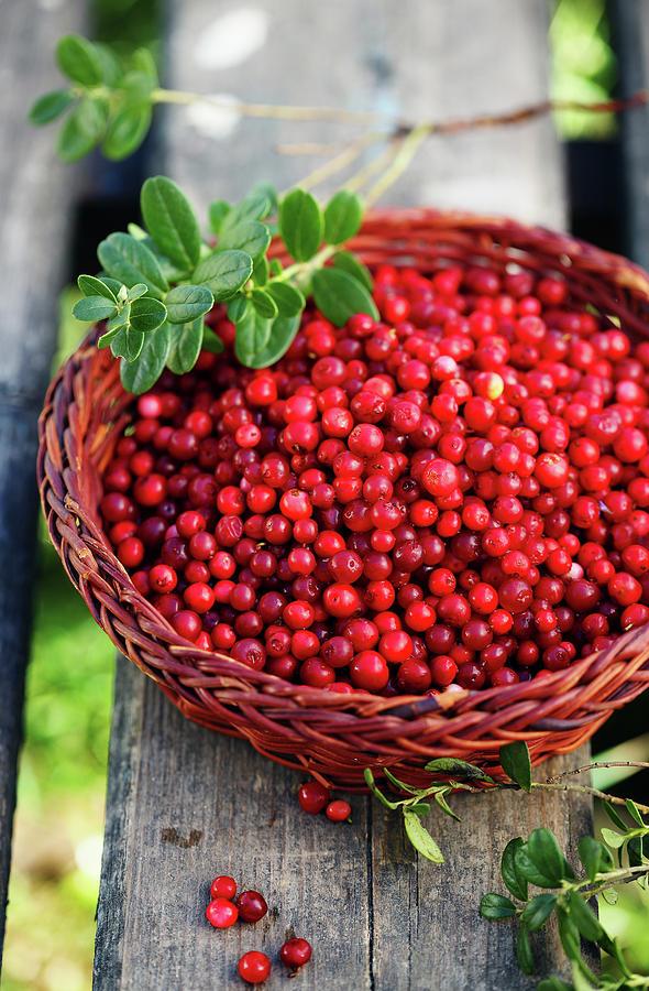 Fresh Lingonberry Photograph