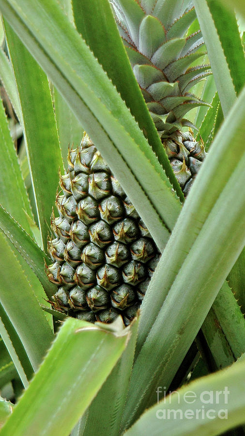 Fresh Pineapple Photograph