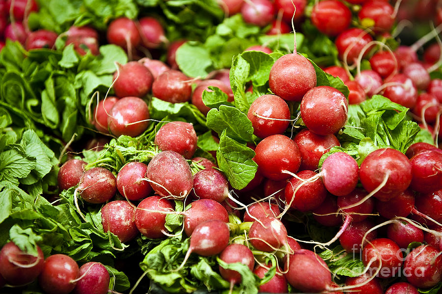 Brassicaceae Photograph - Fresh Radishes by John Greim