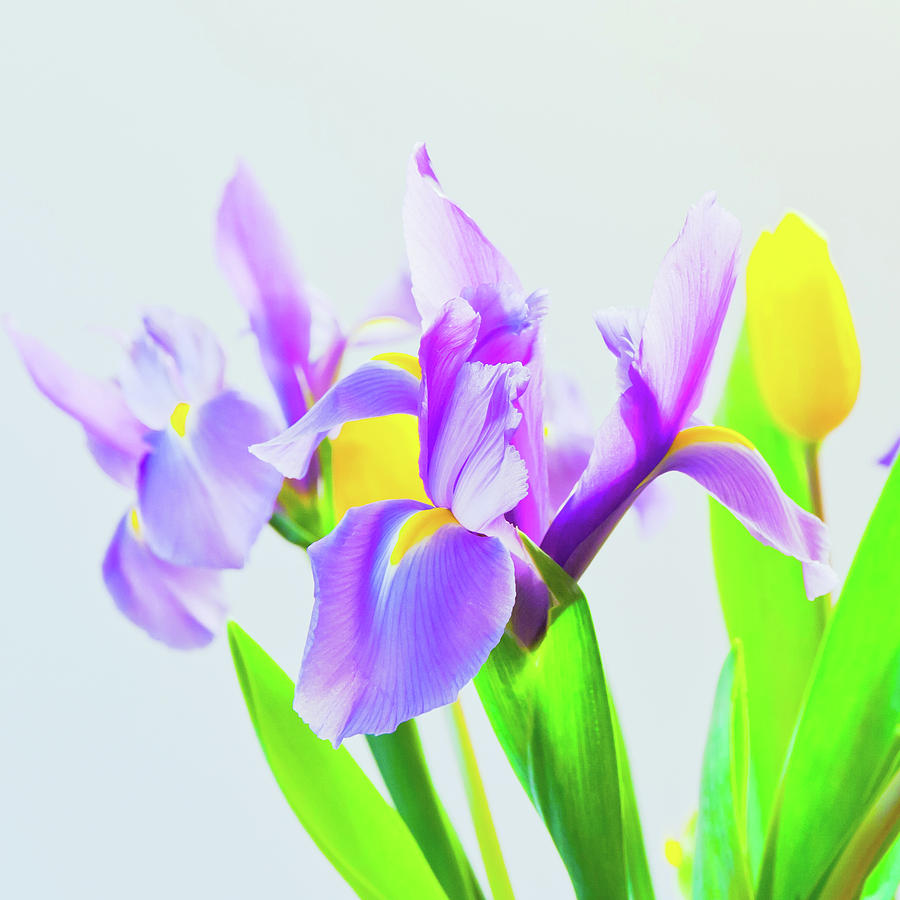 Fresh Spring Tulips And Iris Flowers On Bluish Background Sele