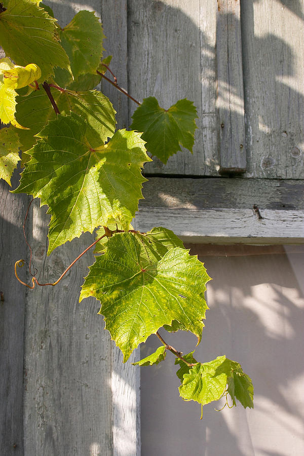 Grapevine Photograph - Fresh by Stanislovas Kairys