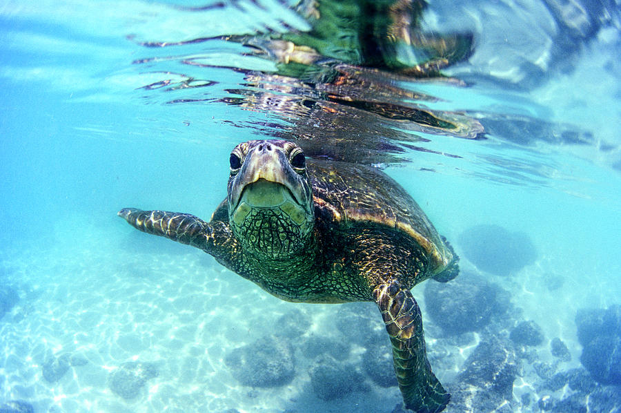 Sea Photograph - friendly Hawaiian sea turtle  by Sean Davey