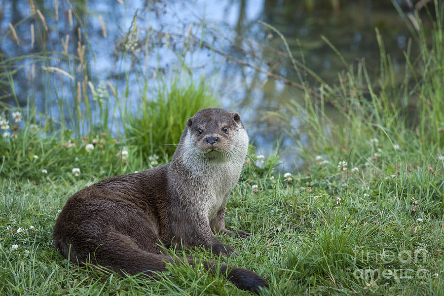 Otter Photograph - Friendly Otter by Philip Pound
