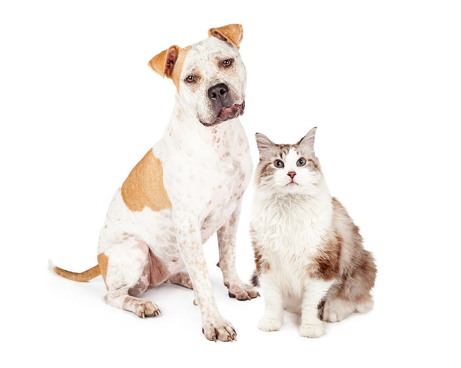 Friendly Pit Bull Dog And Pretty Cat Photograph