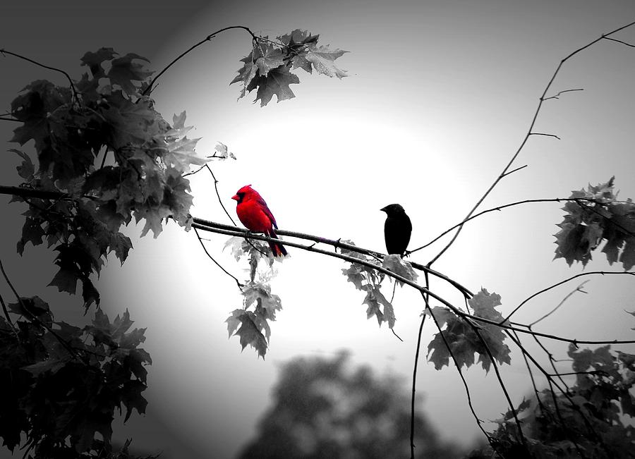 Cardinal Photograph - Friends by Emily Stauring