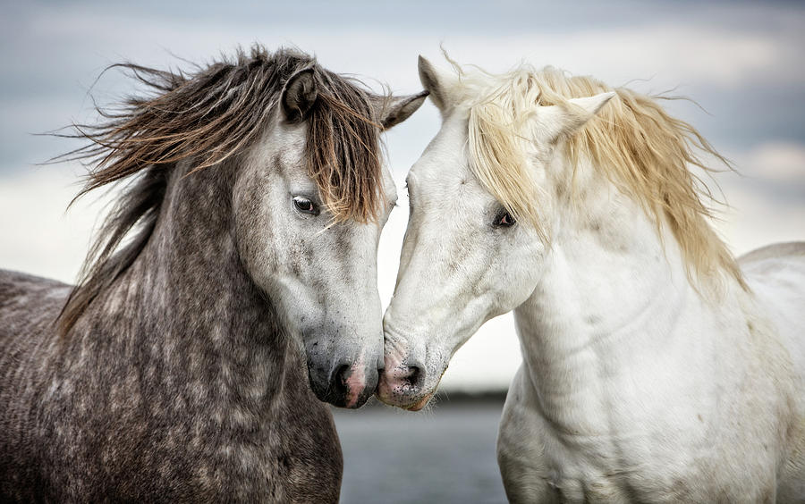 Horses Photograph - Friends Iv - Colour by Tim Booth