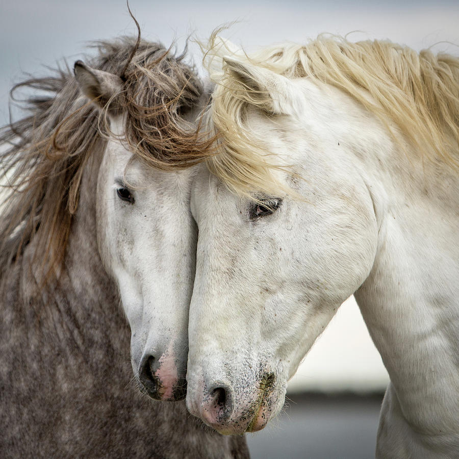 Horses Photograph - Friends V - Colour by Tim Booth