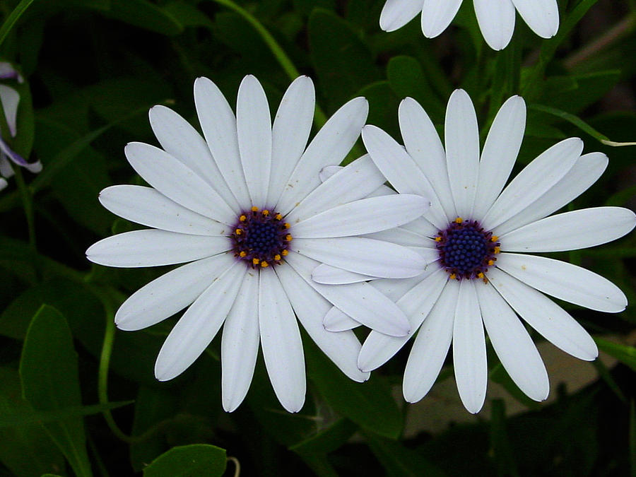Daisy Photograph - Friendship by Edan Chapman