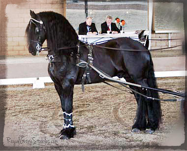 Friesian Stallion Under Harness by Carol Whitaker