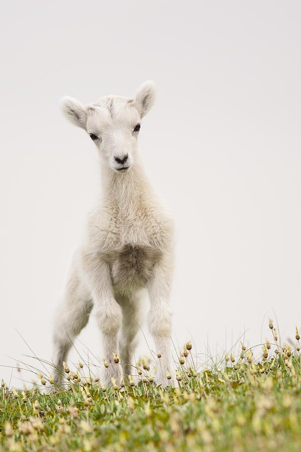 Dall Sheep Photograph - Frisky Lamb by Tim Grams
